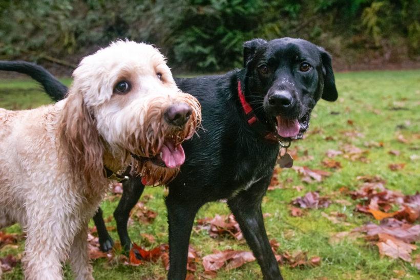Shelter Dog Socialization and Dog Introductions
