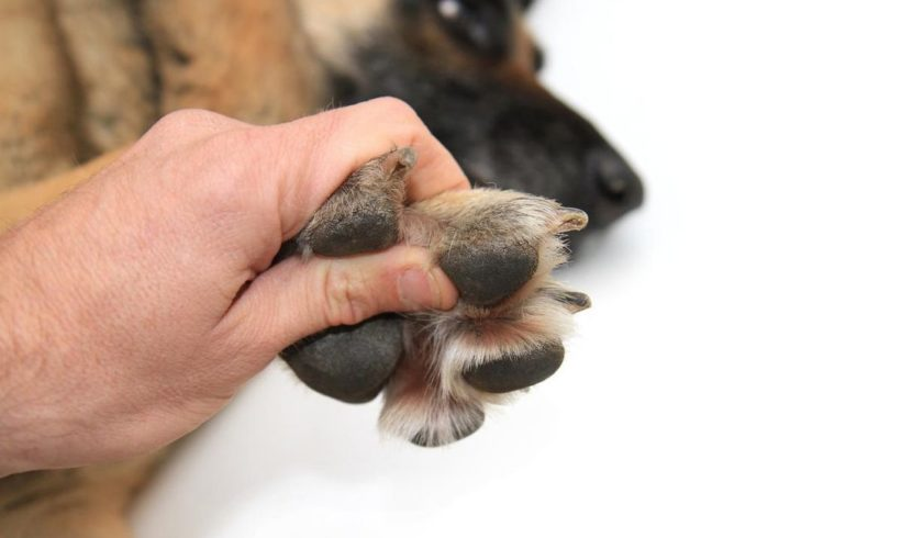 How to Help a Dog Sensitive to Touch