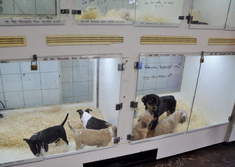 Pet Store Puppies: Why You Shouldn't Rescue One
