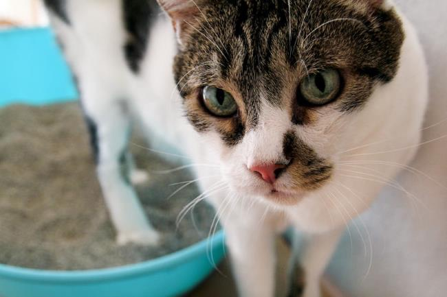 Cat Not Using Litter Box: Causes and Solutions