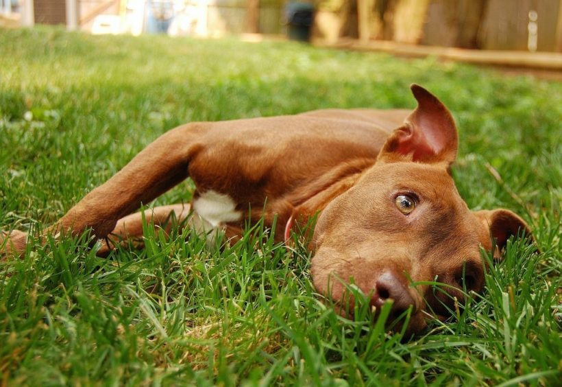 Understand Pit Bull Myths and Facts